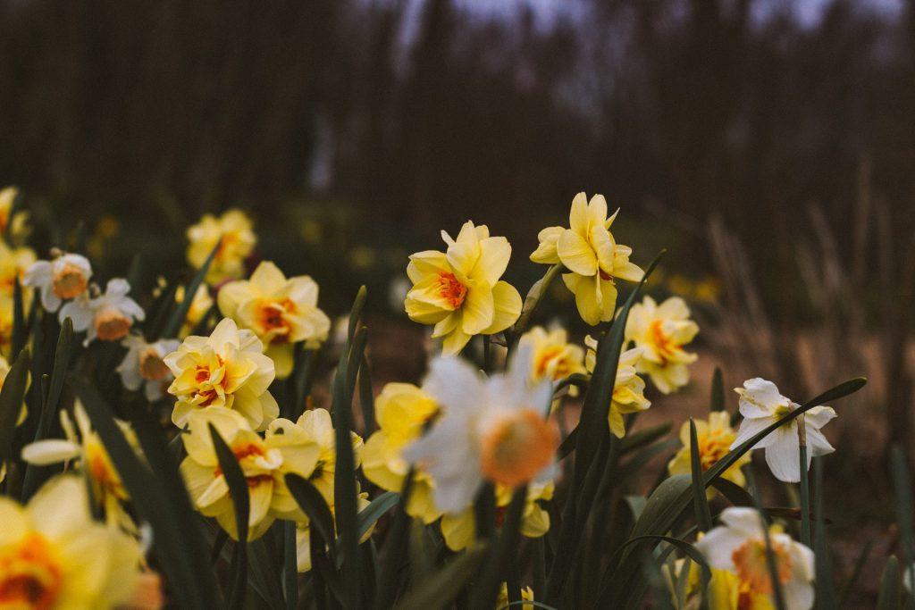 Daffodil Planting